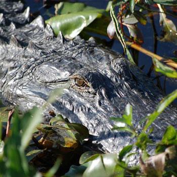 Airboat Safari Alligator in Orlando