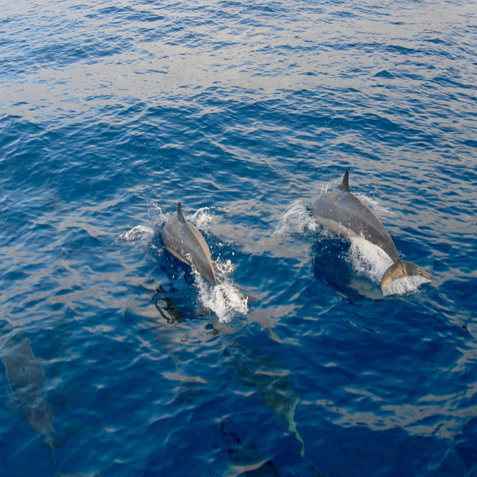 See Dolphins in Oahu
