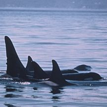 3 Day Eagles & Orcas Kayak Tour in Seattle