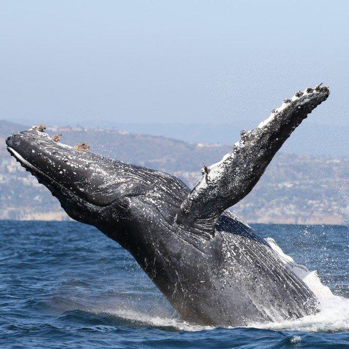 Humpback Whale in Newport Beach