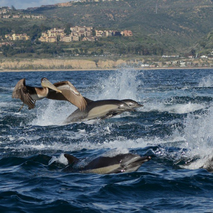 Dolphin Spotting during Whale Watching Cruise in Newport Beach
