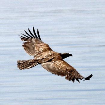 Eagle on Kayaking Tour of San Juan Island in Seattle