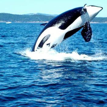 Orca on San Juan Island Kayak Tour